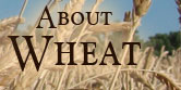 About Wheat